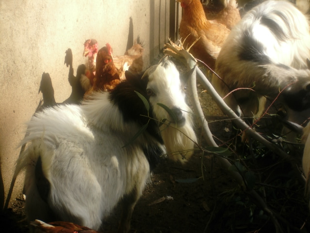 Capretta con galline